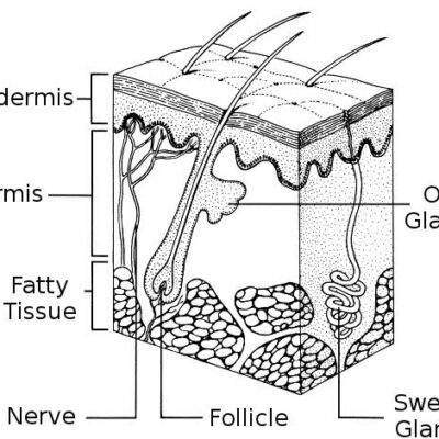 All about the skin's structure