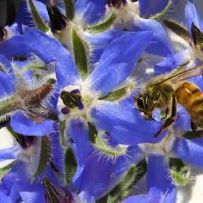 All about beautiful Borage Seed Oil